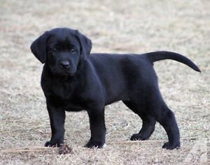 Need a black lab puppy pure bread and should be reg akc and ckc
