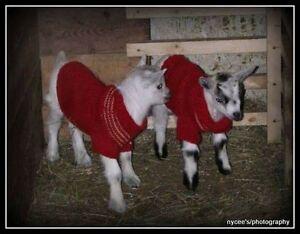 Bébé chèvre pygmée/pygmy goat baby