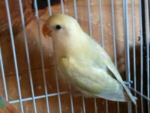 Female lovebird sale/trade for English budgie