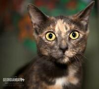"Young Female Cat - Domestic Short Hair: ""Precious"""