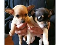 2 Chiuhuahua Puppies, £100 each