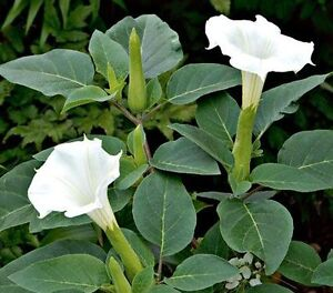 WHITE ANGEL TRUMPET SEEDS EACH PACKAGE 25 SEEDS FOR ONLY $3.00