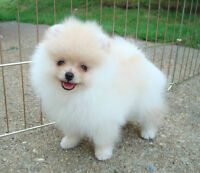WANTED:  White or Cream Pomeranian Male