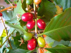 Arabica Kaffee echter Kaffeestrauch Kaffeebaum coffea arabica Pflanze 10cm