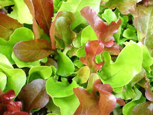 LETTUCE 'Mixed' 250 seeds fancy oakleaf red green ALL TYPES mix vegetable garden
