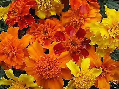 - Mixed Marigold Seeds, Farm Mix, French Marigolds, Non-Gmo Heirloom Seeds, 100ct