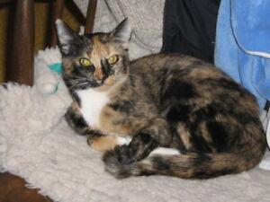"""Adult Female Cat - Calico: """"Sunny"""""""
