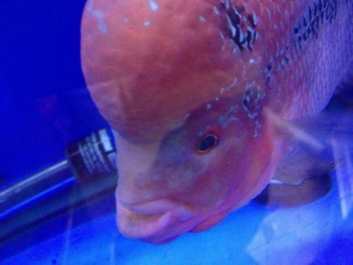 Flowerhorn fish live ebay for Ebay live fish