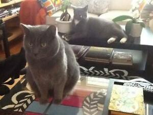 Adult Male  - Russian Blue-Domestic Short Hair