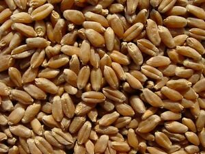 Wanted HRS Wheat Seed - Regina Area