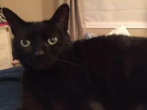 "Adult Male Cat - Domestic Short Hair-black: ""Onyx"""