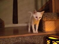 """Young Female Cat - Domestic Short Hair-white: """"Clover"""""""