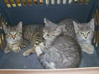 """Baby Male Cat - Domestic Medium Hair: """"Cami  (middle)"""""""