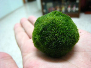 Marimo moss ball questions betta fish and betta fish care for Moss balls for fish tanks