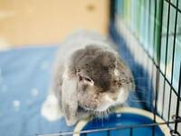 "Adult Male Rabbit - Holland Lop-Silver Marten: ""Grady"""