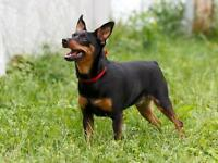 "Young Female Dog - Miniature Pinscher: ""Leona"""