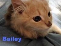 "Baby Male Cat - Domestic Short Hair: ""Bailey - On the shy side!"""