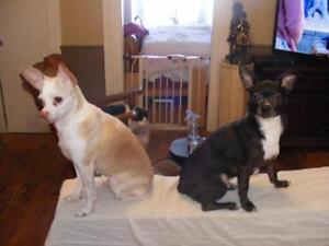 "Adult Female Dog - Chihuahua: ""SCOTA BONDED PAIR WITH TORIN"" Kawartha Lakes Peterborough Area image 3"