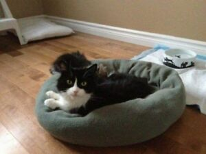 "Adult Female Cat - Domestic Short Hair-Tuxedo: ""Artemis"""