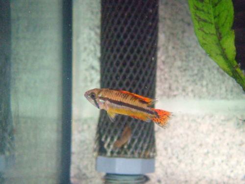 Dwarf cichlids live fish ebay for Ebay live fish