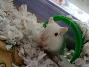 """Young Female Small & Furry - Gerbil: """"Queen"""""""
