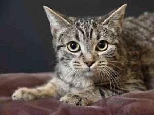 "Adult Female Cat - Domestic Short Hair: ""WENDY"""