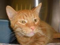 """Young Male Cat - Domestic Short Hair: """"Whiskers 15 (Taylor)"""""""