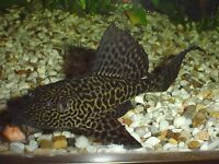 Pleco for trade / looking for smaller type