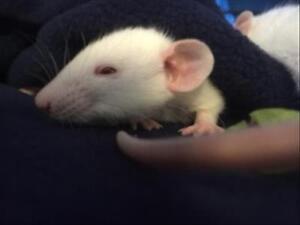 "Adult Male Small & Furry - Rat: ""Feta"""