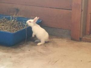 "Young Male Rabbit - Flemish Giant-Californian: ""Chunk"""