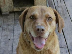 "Senior Male Dog - Chesapeake Bay Retriever: ""Harry"""