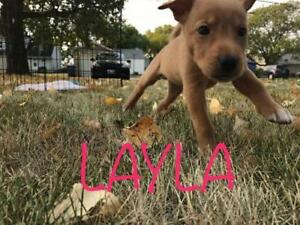 "Baby Female Dog - Labrador Retriever: ""LAYLA"""