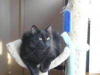 "Adult Female Cat - Domestic Medium Hair-black: ""Coal"""