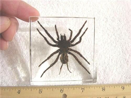 Spider in acrylic paperweight bigger 3x3x1 inch real golden earth tiger spider