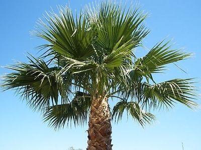 (6) 1.5 YEAR OLD - WASHINGTON ROBUSTA, MEXICAN FAN PALM TREE SEED SEEDLINGS](Palm Fans)