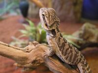 Bearded dragon and viv complete set up 100£