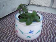 Chocolate Mint Plant