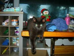 "Baby Female Cat - Domestic Medium Hair-black: ""Fuzzy"""
