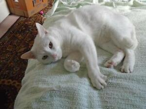 "Adult Male Cat - Domestic Short Hair-white: ""Julius"""
