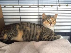 """Young Female Cat - Domestic Short Hair: """"Ava"""""""