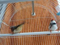 Two Zebra Finches with cage