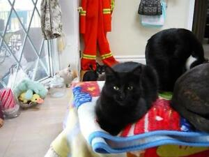 "Young Female Cat - Domestic Medium Hair-black: ""Fuzzy"" Kawartha Lakes Peterborough Area image 2"