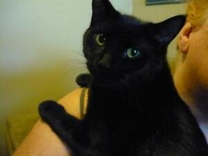 "Young Female Cat - Domestic Short Hair-black: ""Jill"""