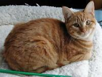 "Young Female Cat - Domestic Short Hair-Tabby: ""Rella"""