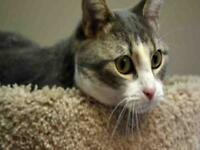 "Young Female Cat - Domestic Short Hair: ""EVEREST"""