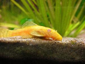 """1 female albino bristlenose pleco """"short fins"""" for sale or trade"""
