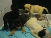 "Baby Female Dog - Rottweiler-Husky: ""4 puppies"""