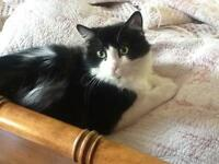 "Adult Female Cat - Domestic Long Hair-black and white: ""Cleo"""