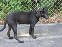 "Young Female Dog - Labrador Retriever: ""China"""