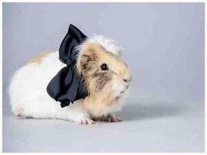 """Adult Male Small & Furry - Guinea Pig: """"LARRY"""""""